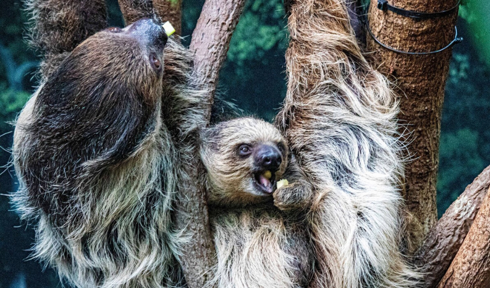 Linne's two-toed sloths at Denver Zoo